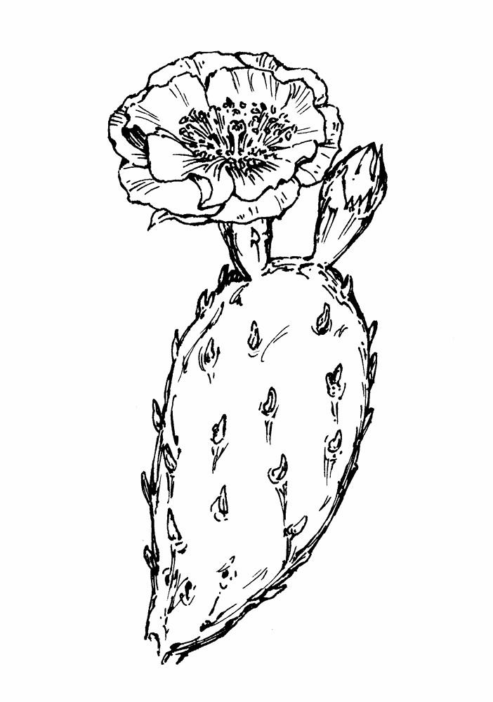 Drawn cactus prickly pear cactus Pear Search Google prickly prickly