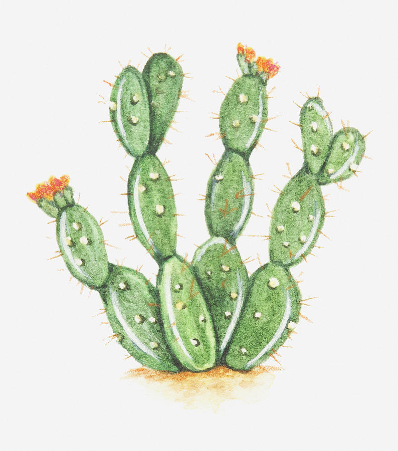 Drawn cactus prickly pear cactus Pear Sp by In Bloom