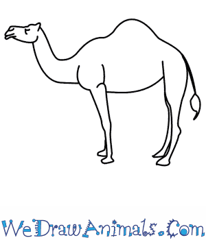 Drawn camels Draw How To A