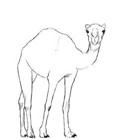 Drawn camels How camel A pencil Camel