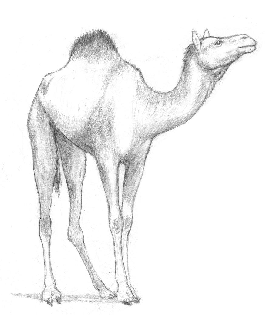 Drawn camels Camel by TalonV Camel by