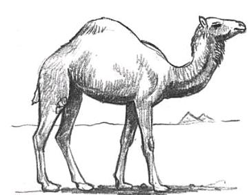 Drawn camel Drawing Draw  Tutorials How