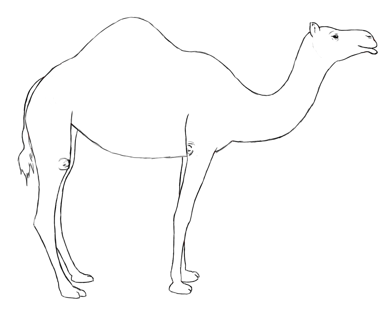 Drawn camels Camel?? Drawing  A To