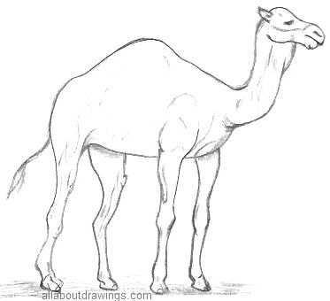 Drawn camels And Wildlife 2 2 inspires