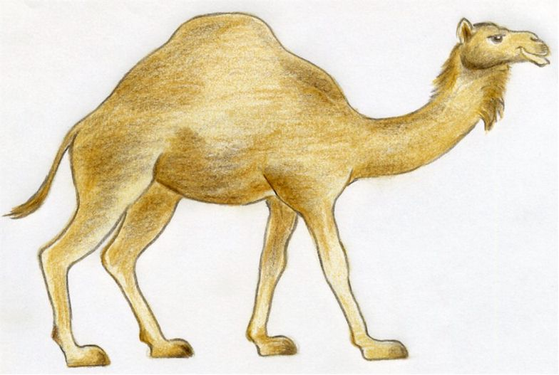 Drawn camel In simple pencil quick image