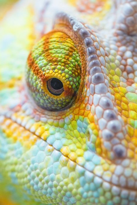 Drawn cameleon eye More on images best this