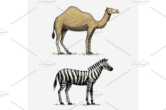 Drawn camels african Zebra camel zebra animals wild