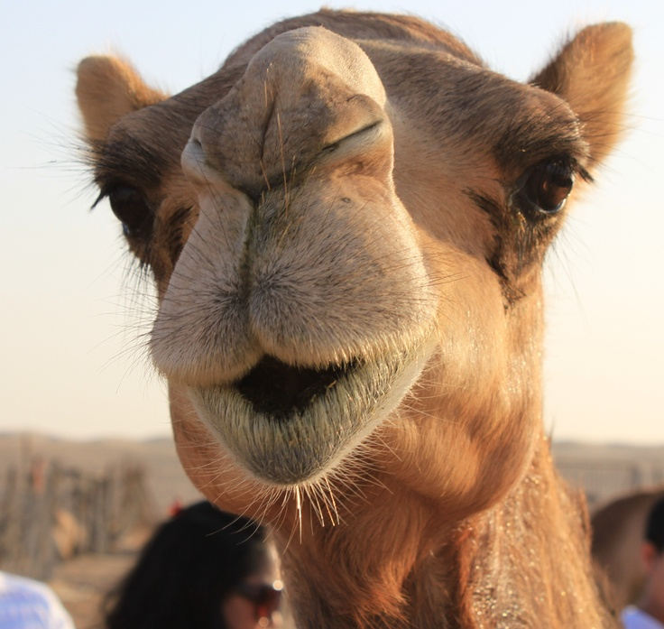Drawn camels cute Images picture props camel Cute