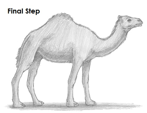 Drawn camels line drawing Draw to How Camel a