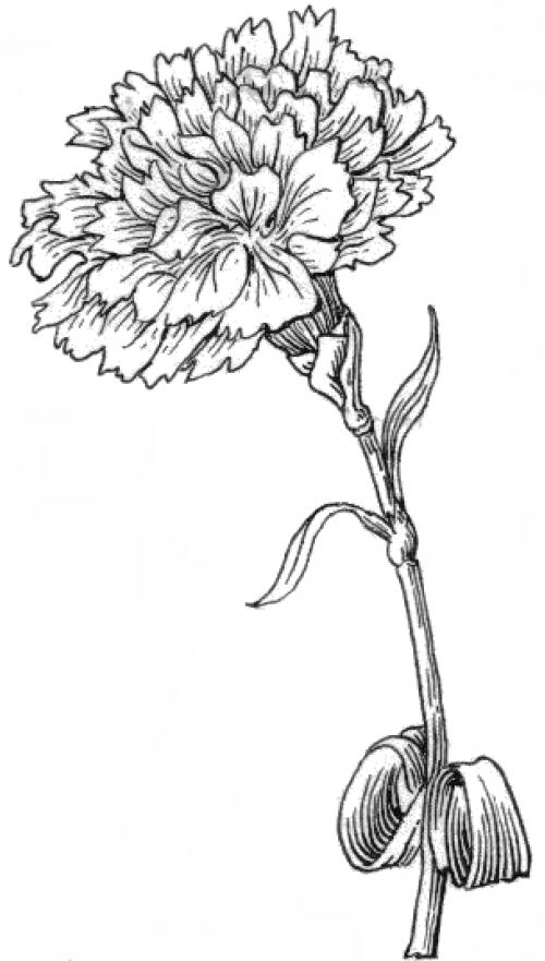 Drawn carnation Moms draw carnation a flower