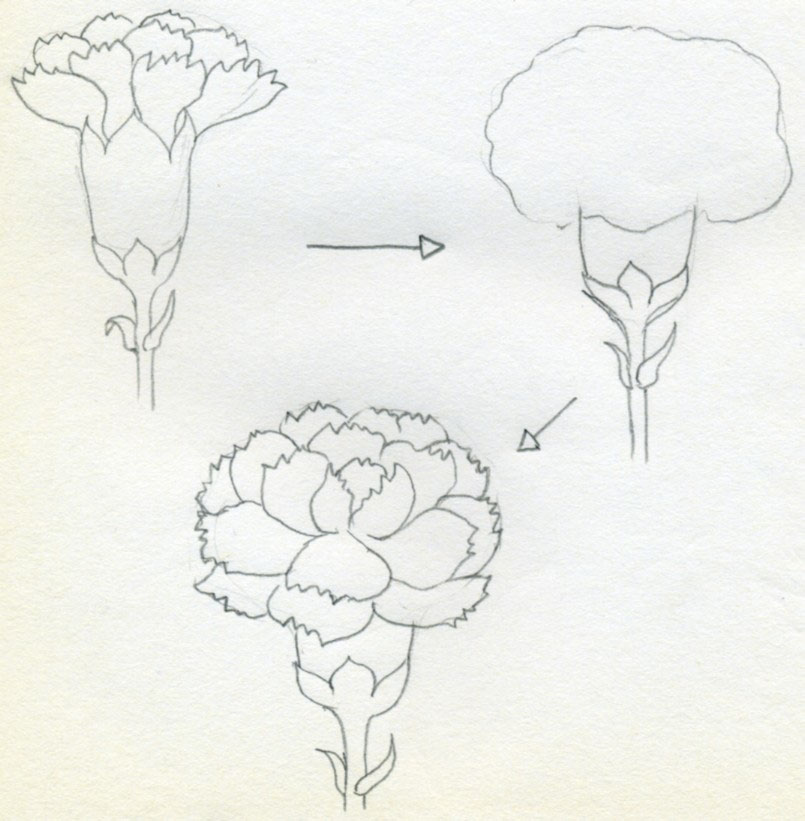 Drawn carnation Would simply you If illustration