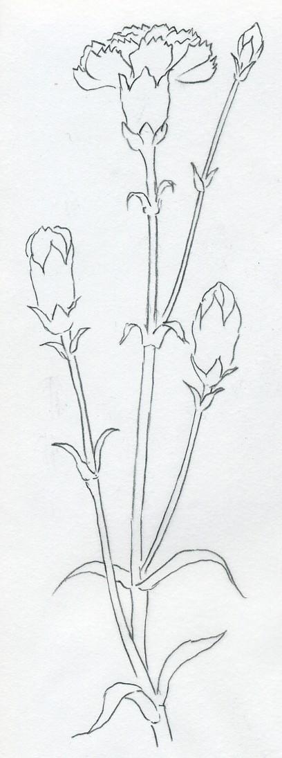 Drawn carnation It Carnation try – Carnation