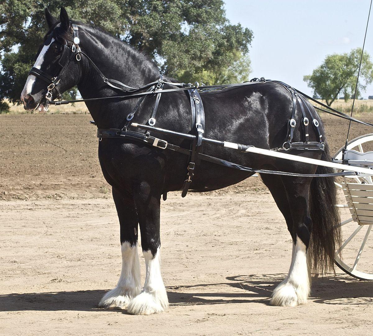 Drawn cart heavy horse Wikipedia  Shire horse