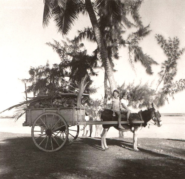Drawn cart mule Transport: and Mauritius Photographers Carriage