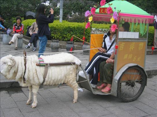 Drawn cart sheep Their their that sheep have