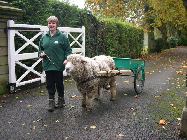 Drawn cart sheep Images 179 Carts a best