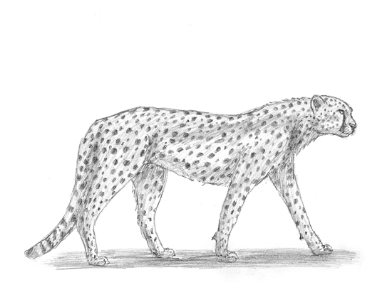 Drawn pice cheetah How to Draw Cheetah Home