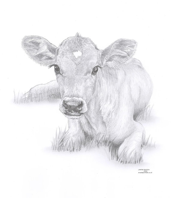 Drawn cattle baby calf #4