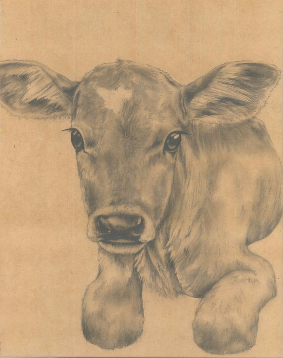 Drawn cattle baby calf #1