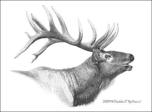Drawn cattle elk #2