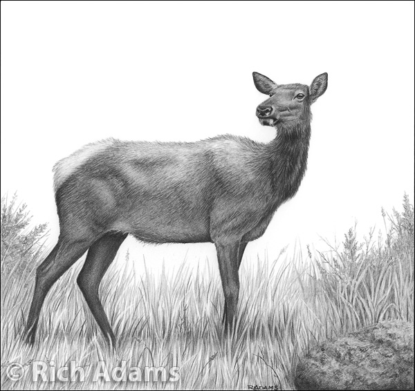 Drawn cattle elk #3