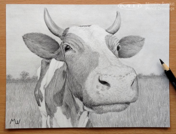 Drawn cattle realistic #13