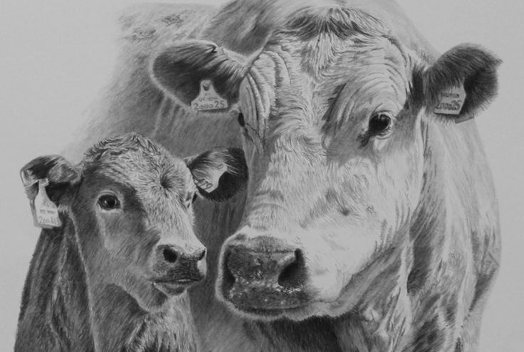 Drawn cattle realistic #5