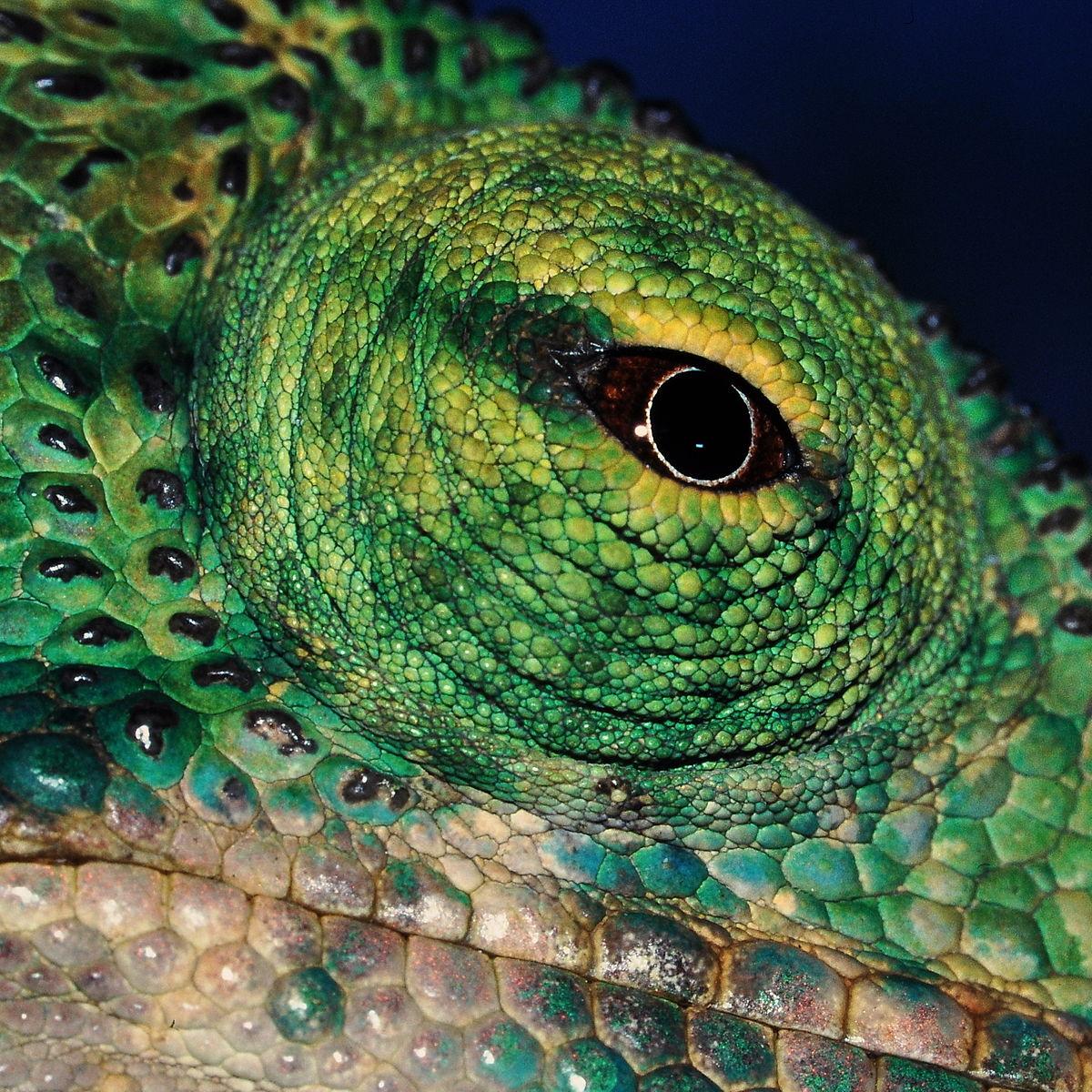 Drawn cameleon eye Chameleon  Wikipedia vision