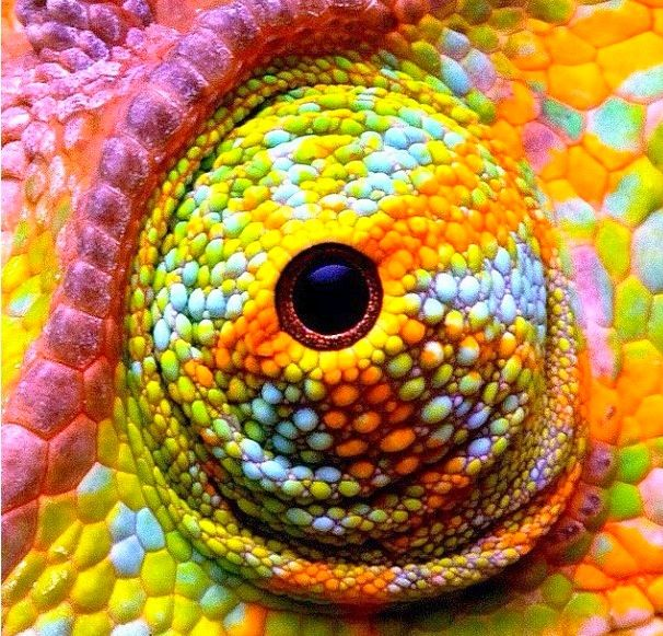 Drawn cameleon eye Animal Eyes Pinterest eye chameleon