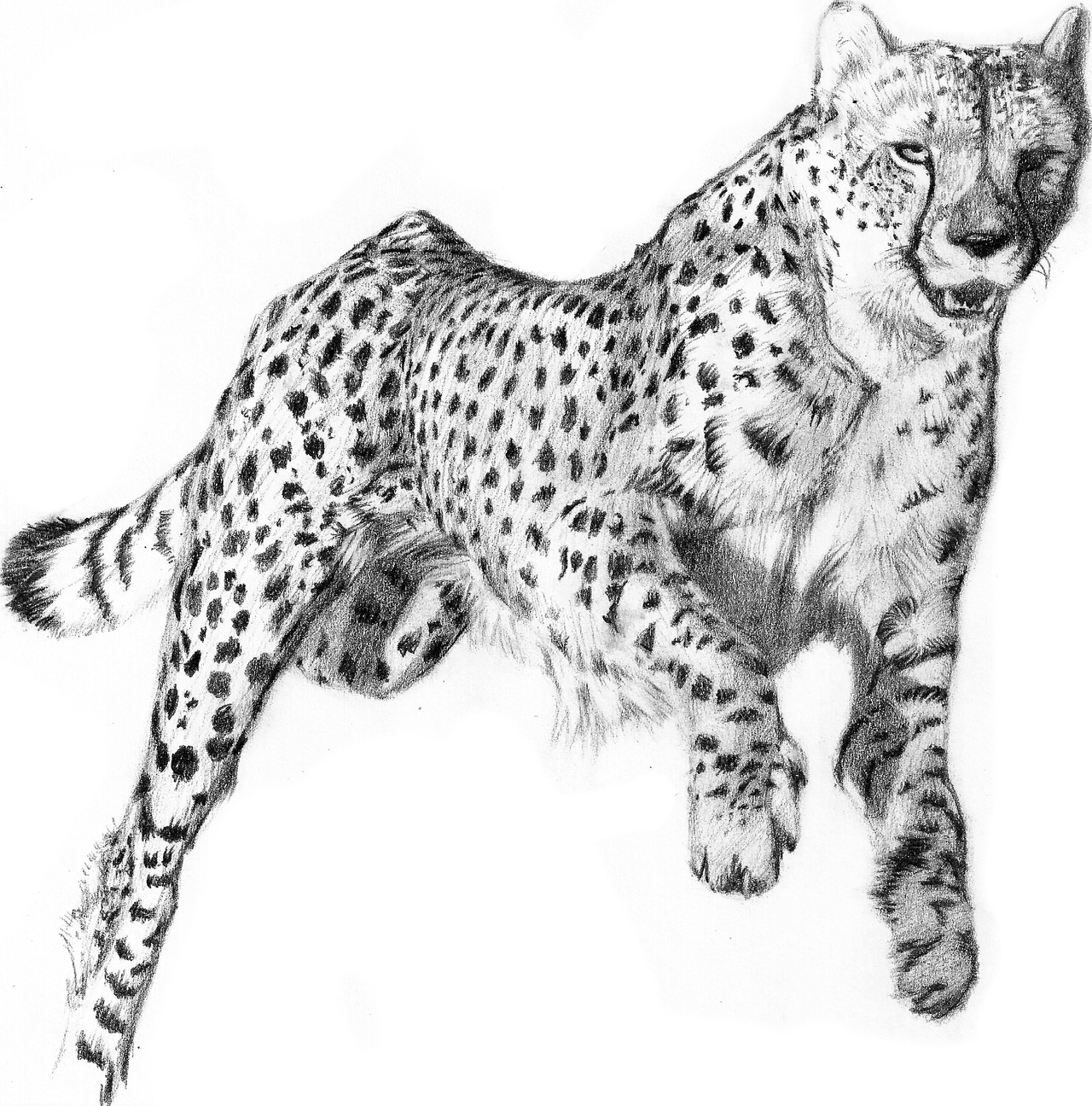 Drawn pice cheetah (pencil work) Lakana by baby