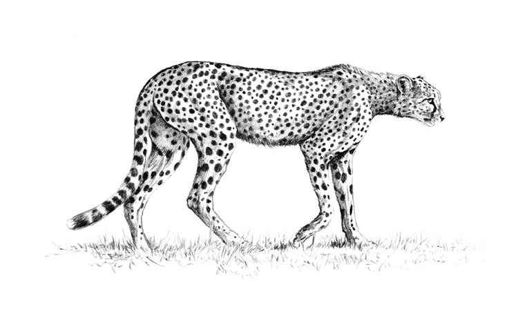 Drawn pice cheetah Cheetah Pencil Drawing Cheetah