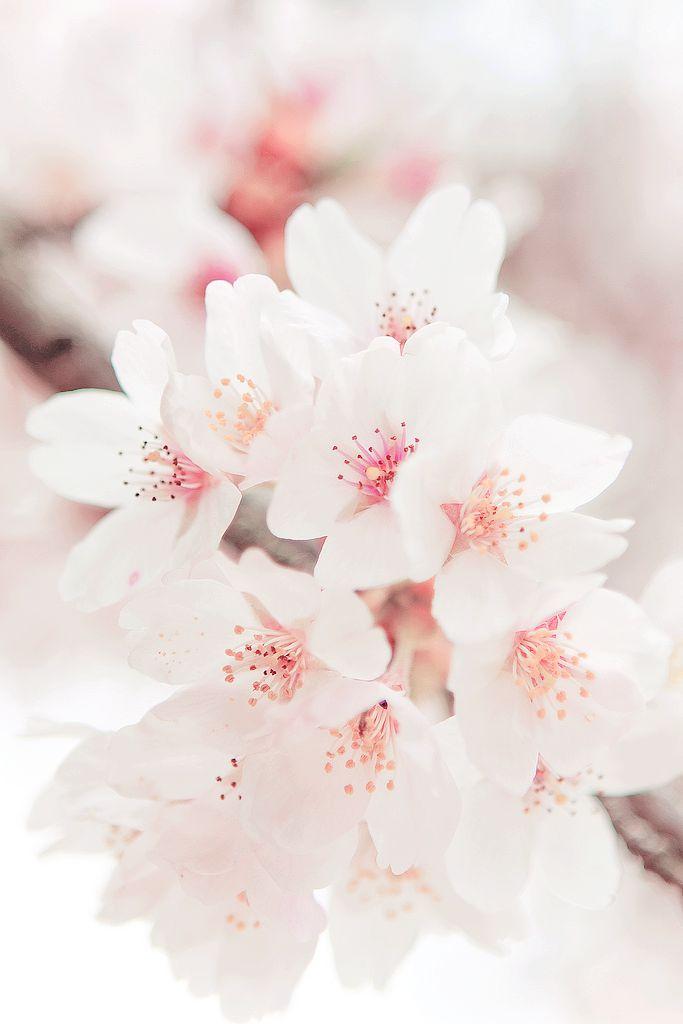 Sakura Blossom clipart tumblr backgrounds #6