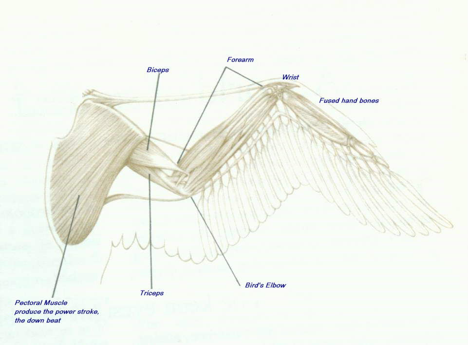 Drawn todies muscular body Google for Birds Image uk/muscles