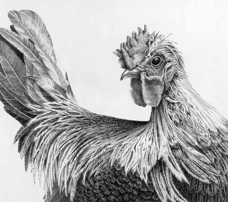 Drawn rooster chicken Rooster Regal Livingston by Black