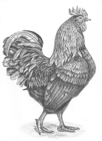 Drawn rooster gallic rooster Rooster EVERYWHERE Farmyard Pinterest best