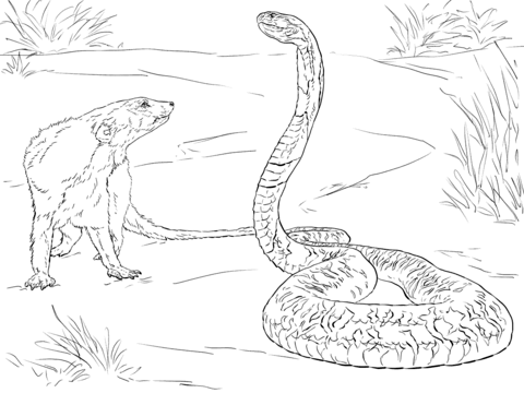 Drawn snake spitting cobra Coloring of Cobra Mongoose And