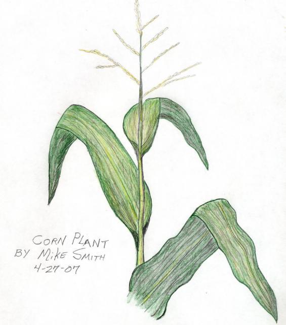 Drawn corn Healing Stalk Garden Personal Gardens