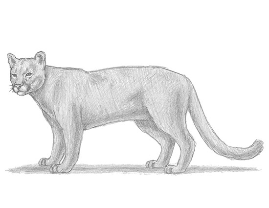 Drawn cougar How to Draw Cougar Home