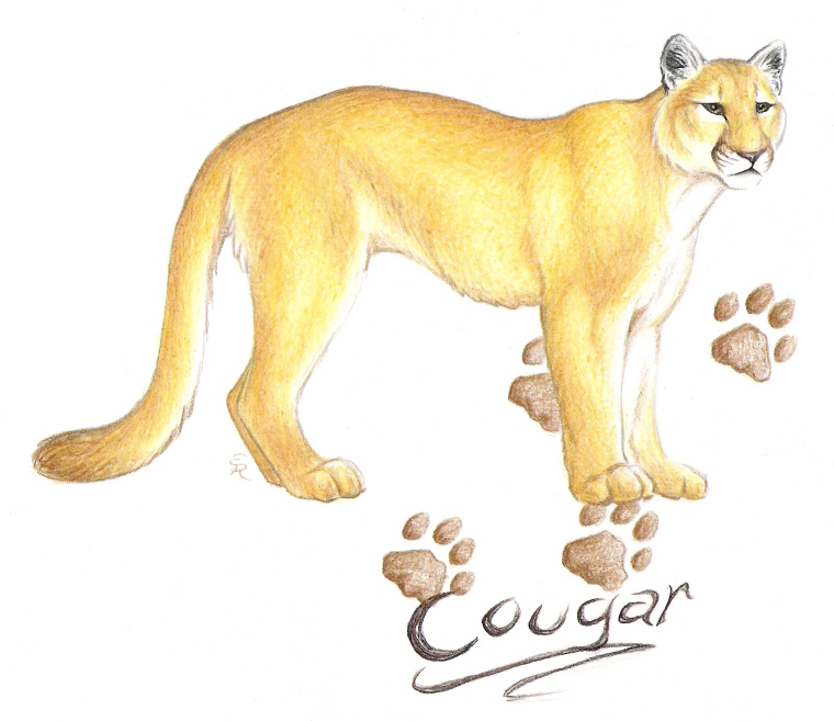 Drawn cougar Cougar by DeviantArt WildSpiritWolf on