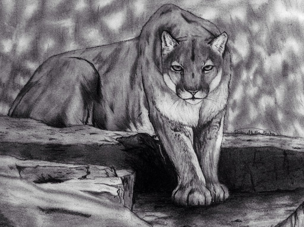 Drawn cougar Cougar Picture Drawing Drawing Pencil