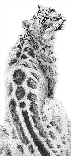 Drawn snow graphite Images pencil 520 wildlife leopard