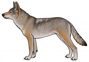 Drawn coyote #15