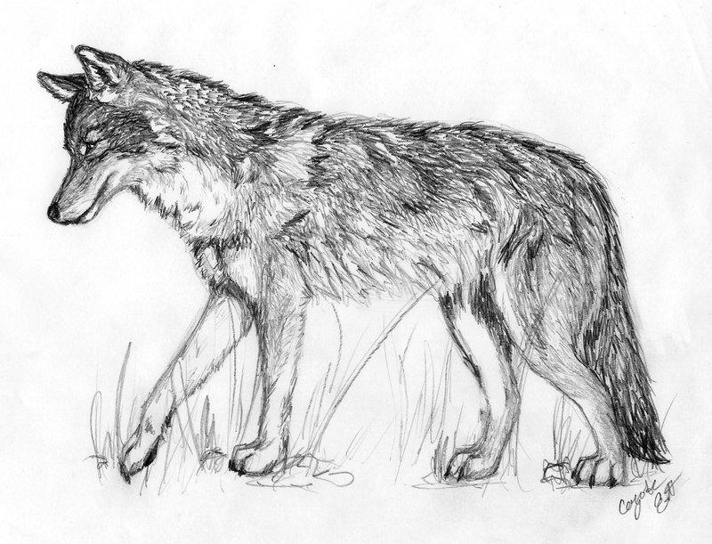 Drawn coyote #6