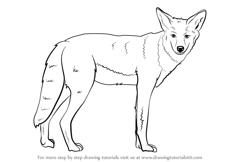 Drawn coyote #13