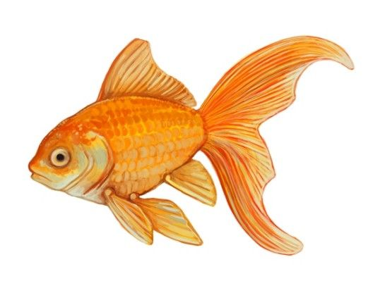 Drawn gold fish chinese On goldfish images GoldfishFish 48