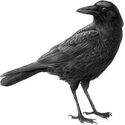 Drawn raven perched Pinterest about on birds Ravens