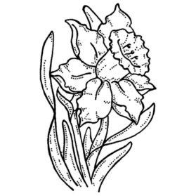 Drawn daffodil Realistic Sketch Daffodil Pencil Daffodil