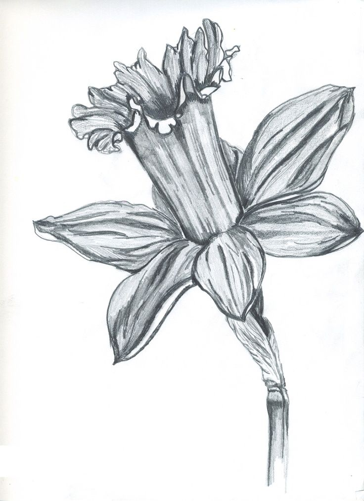 Drawn daffodil Search sketch daffodil Pinterest best