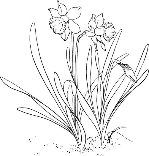 Drawn daffodil To coloring Daffodil images best