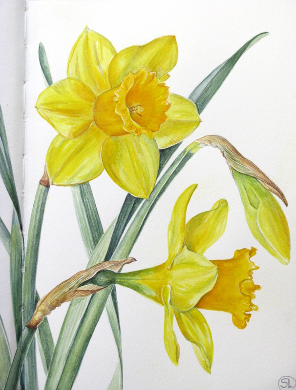 Drawn daffodil Other Sketches Botanical a of